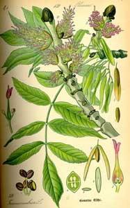 Ясень (Fraxinus, кельтс. Nion)