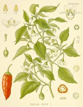 http://herbalogya.ru/assets/images/spice/Capsicum-annum.jpg