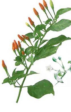 http://herbalogya.ru/assets/images/spice/Capsicum-frutescens.jpg