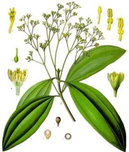 http://herbalogya.ru/assets/images/spice/Cinnamomum-01-cass.jpg