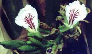 http://herbalogya.ru/assets/images/spice/Elettaria-cardamomum-05.jpg