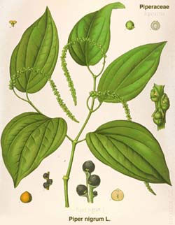 http://herbalogya.ru/assets/images/spice/Piper-nigrum-00.jpg